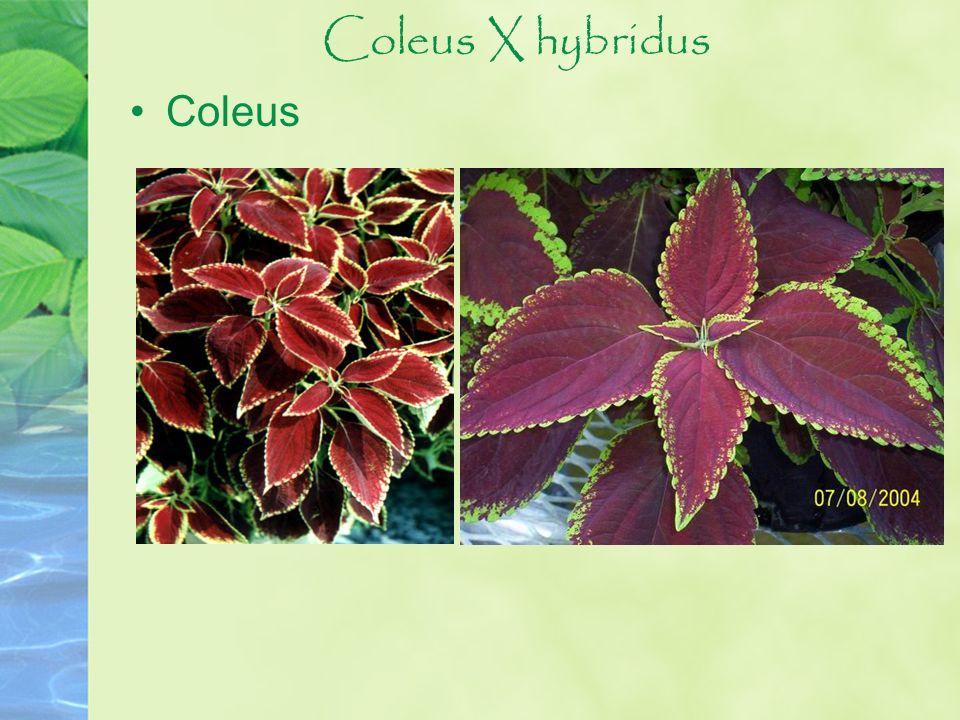 Coleus X hybridus Coleus