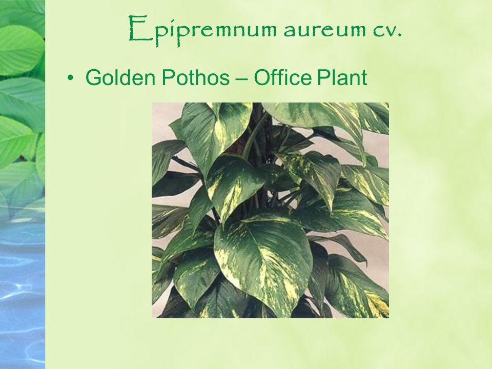 Epipremnum aureum cv. Golden Pothos – Office Plant