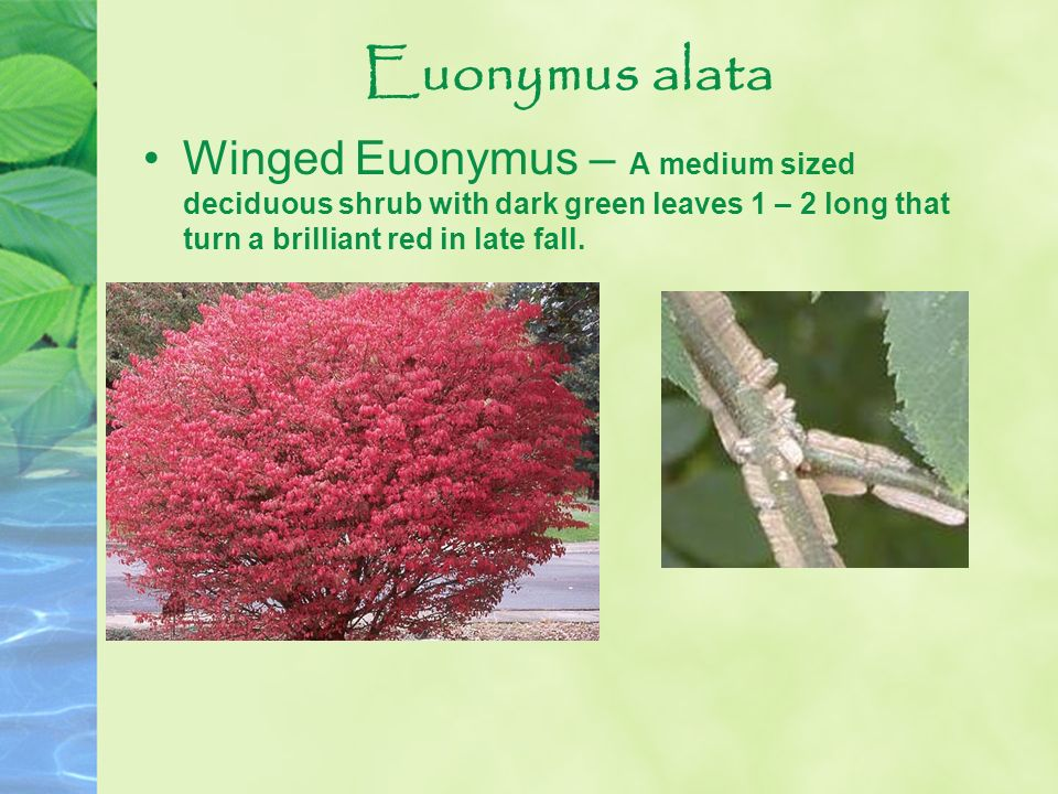 Euonymus alata Winged Euonymus – A medium sized deciduous shrub with dark green leaves 1 – 2 long that turn a brilliant red in late fall.