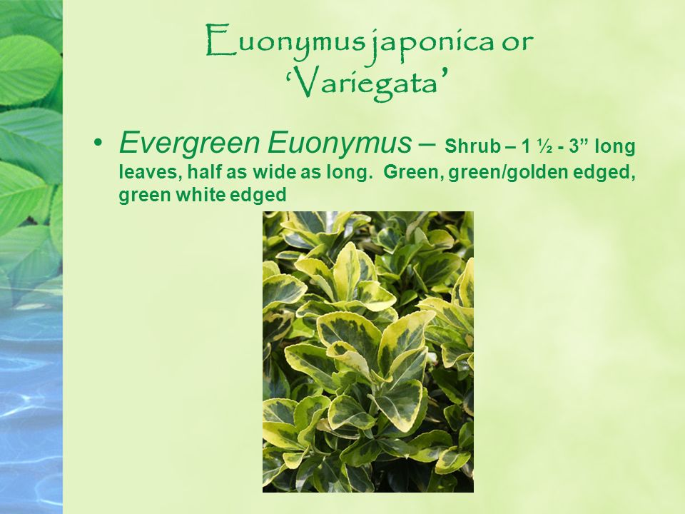 Euonymus japonica or 'Variegata'