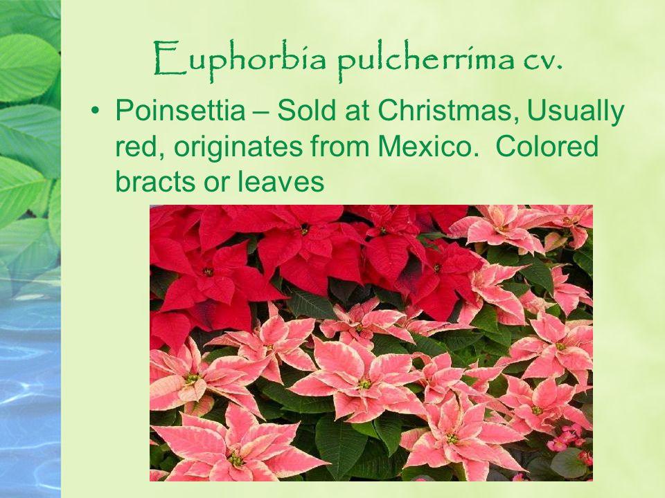 Euphorbia pulcherrima cv.