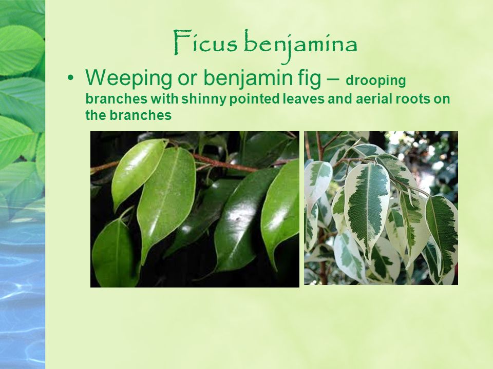 Ficus benjamina Weeping or benjamin fig – drooping branches with shinny pointed leaves and aerial roots on the branches.