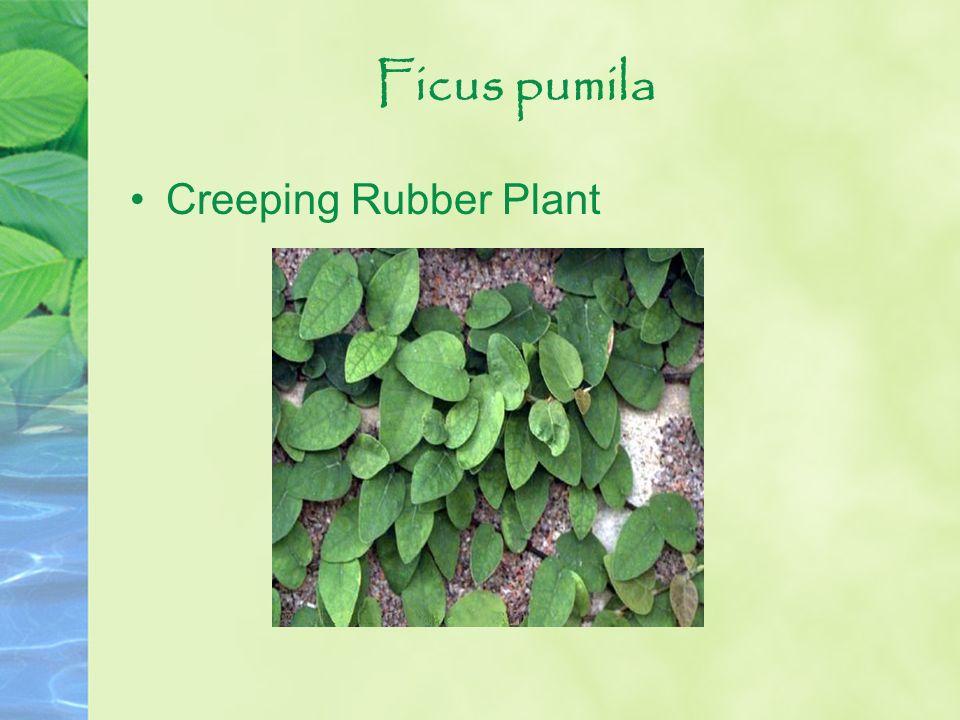 Ficus pumila Creeping Rubber Plant