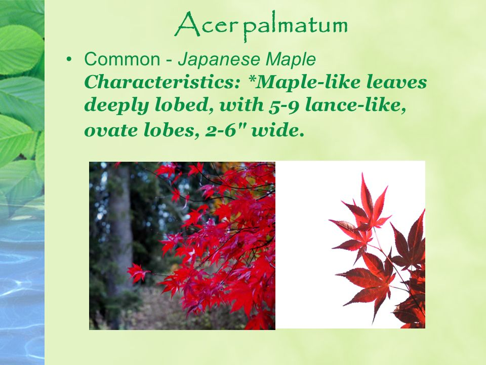 Acer palmatum Common - Japanese Maple Characteristics: *Maple-like leaves deeply lobed, with 5-9 lance-like, ovate lobes, 2-6 wide.