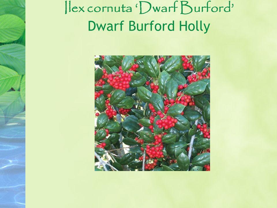 Ilex cornuta 'Dwarf Burford' Dwarf Burford Holly