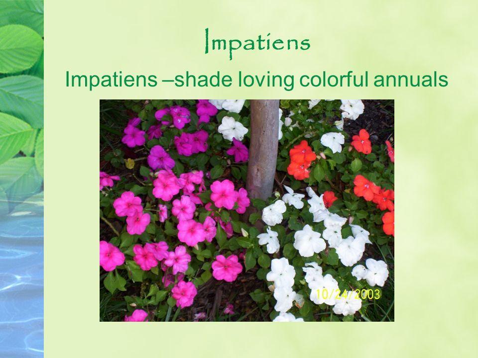 Impatiens Impatiens –shade loving colorful annuals