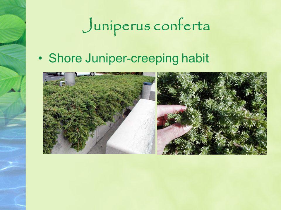 Juniperus conferta Shore Juniper-creeping habit