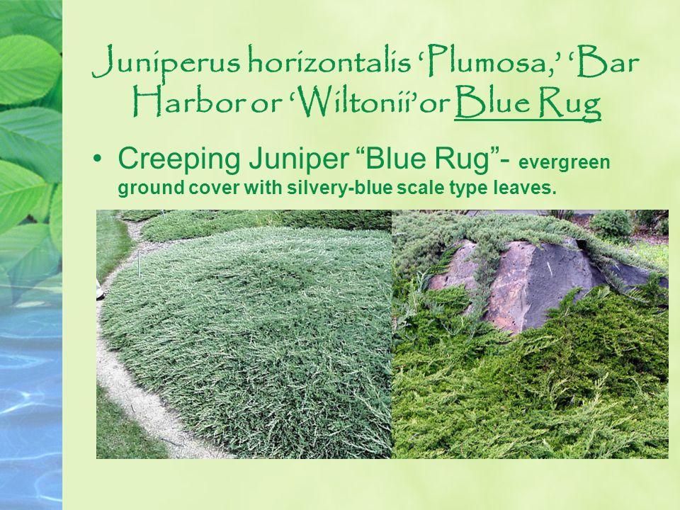 Juniperus horizontalis 'Plumosa,' 'Bar Harbor or 'Wiltonii'or Blue Rug