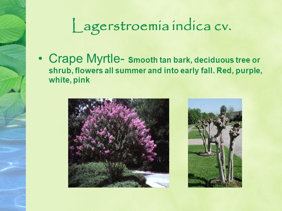 Lagerstroemia indica cv.