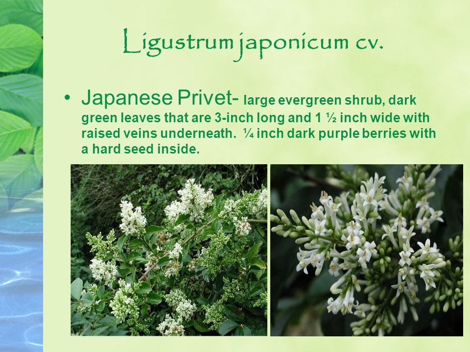 Ligustrum japonicum cv.