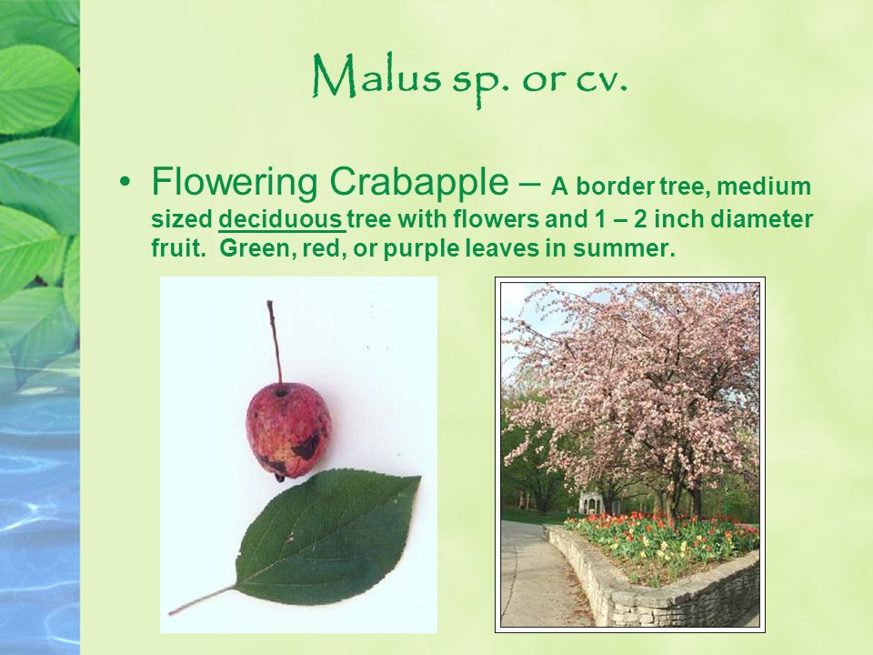 Malus sp. or cv.