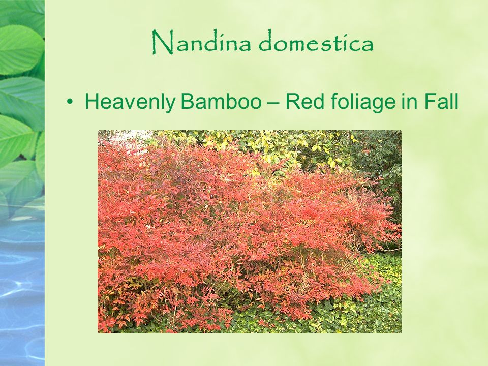 Nandina domestica Heavenly Bamboo – Red foliage in Fall