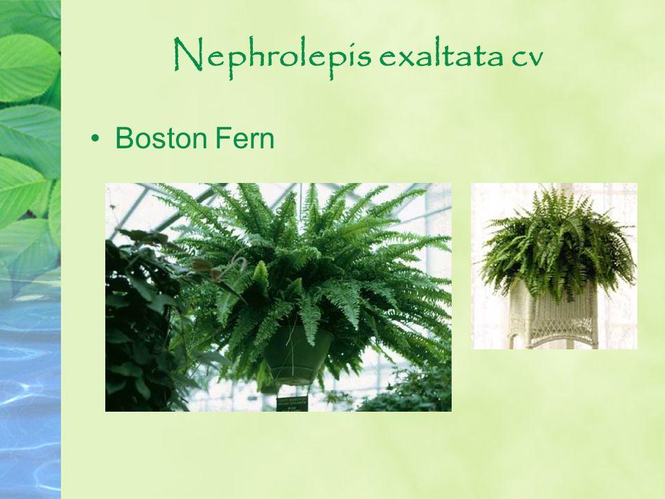 Nephrolepis exaltata cv