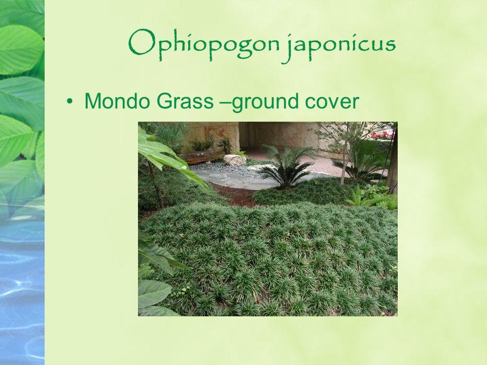Ophiopogon japonicus Mondo Grass –ground cover