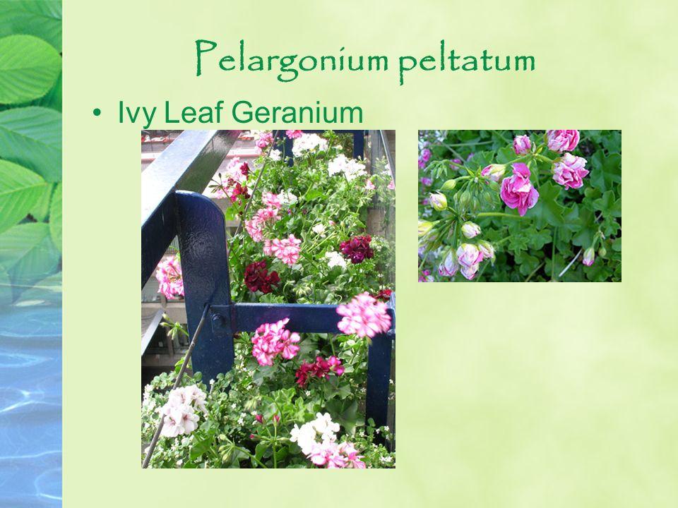 Pelargonium peltatum Ivy Leaf Geranium