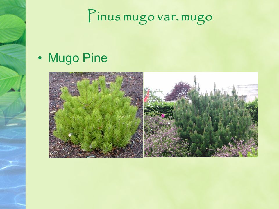 Pinus mugo var. mugo Mugo Pine