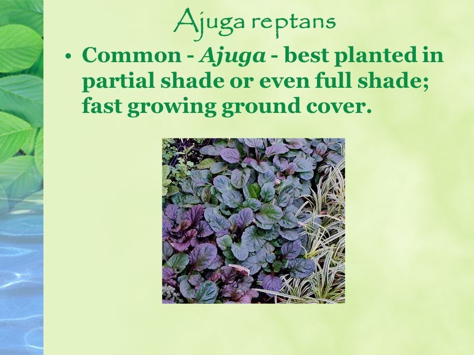 Ajuga reptans Common - Ajuga - best planted in partial shade or even full shade; fast growing ground cover.