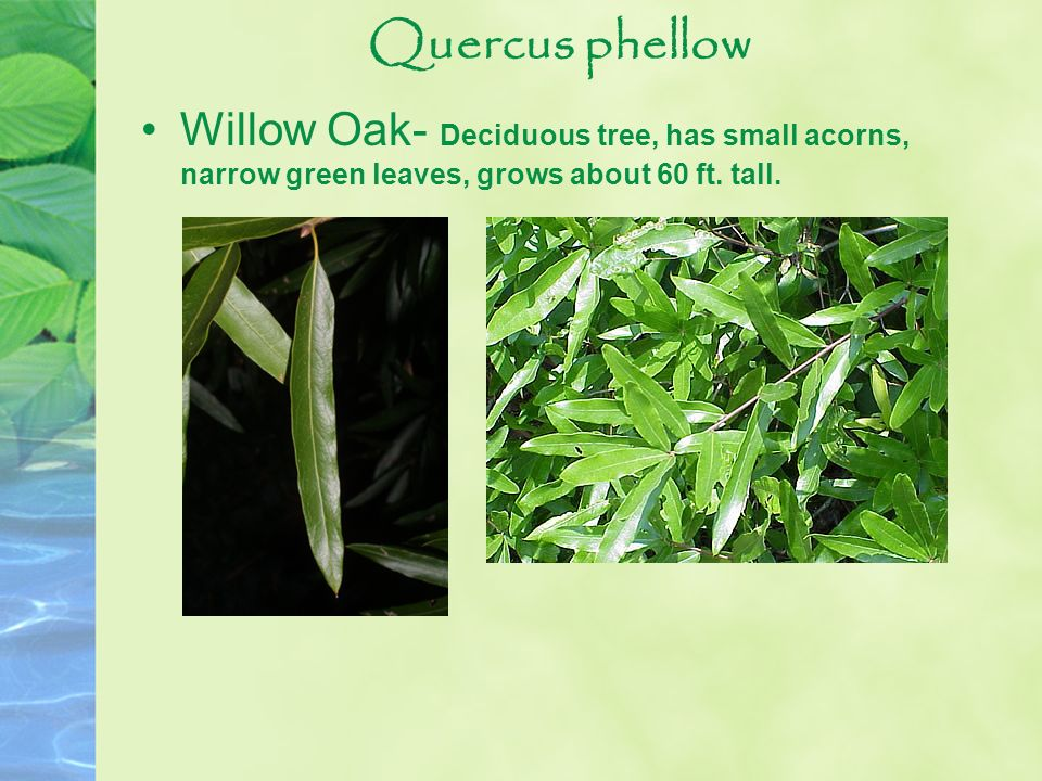 Quercus phellow Willow Oak- Deciduous tree, has small acorns, narrow green leaves, grows about 60 ft.