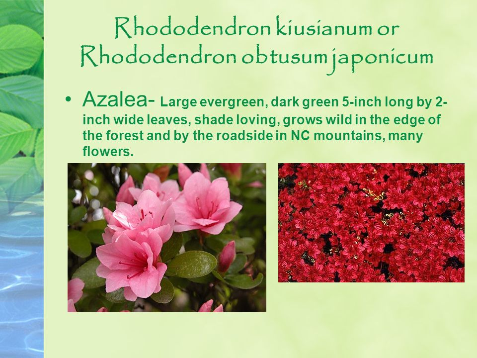 Rhododendron kiusianum or Rhododendron obtusum japonicum