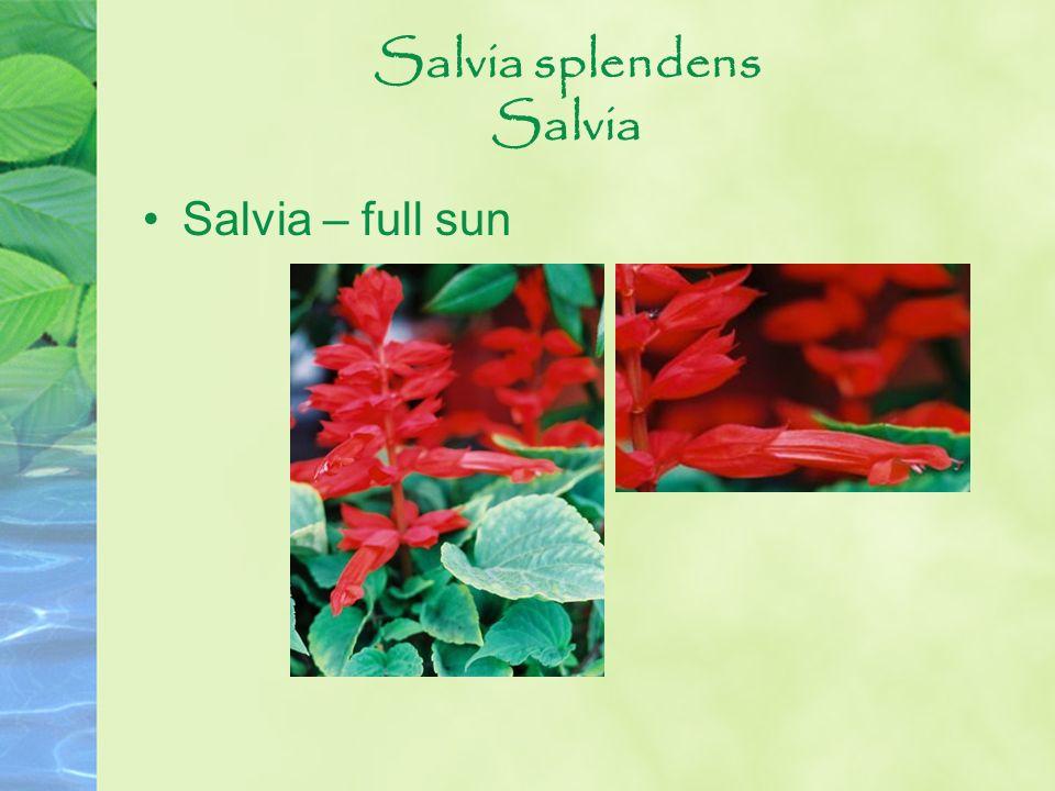 Salvia splendens Salvia