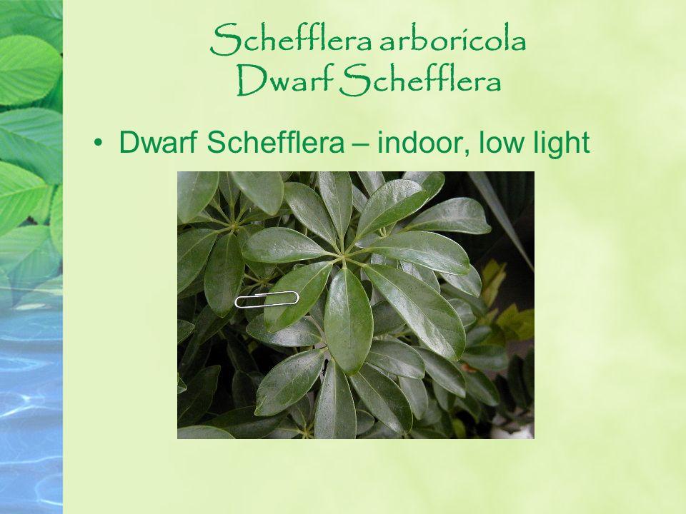Schefflera arboricola Dwarf Schefflera