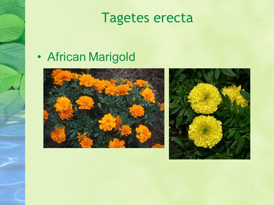 Tagetes erecta African Marigold