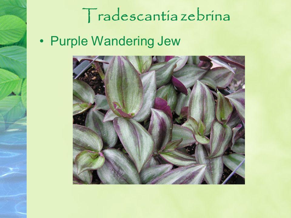 Tradescantia zebrina Purple Wandering Jew