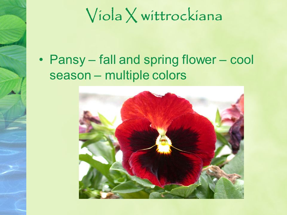 Viola X wittrockiana Pansy – fall and spring flower – cool season – multiple colors