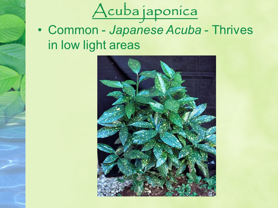 Acuba japonica Common - Japanese Acuba - Thrives in low light areas