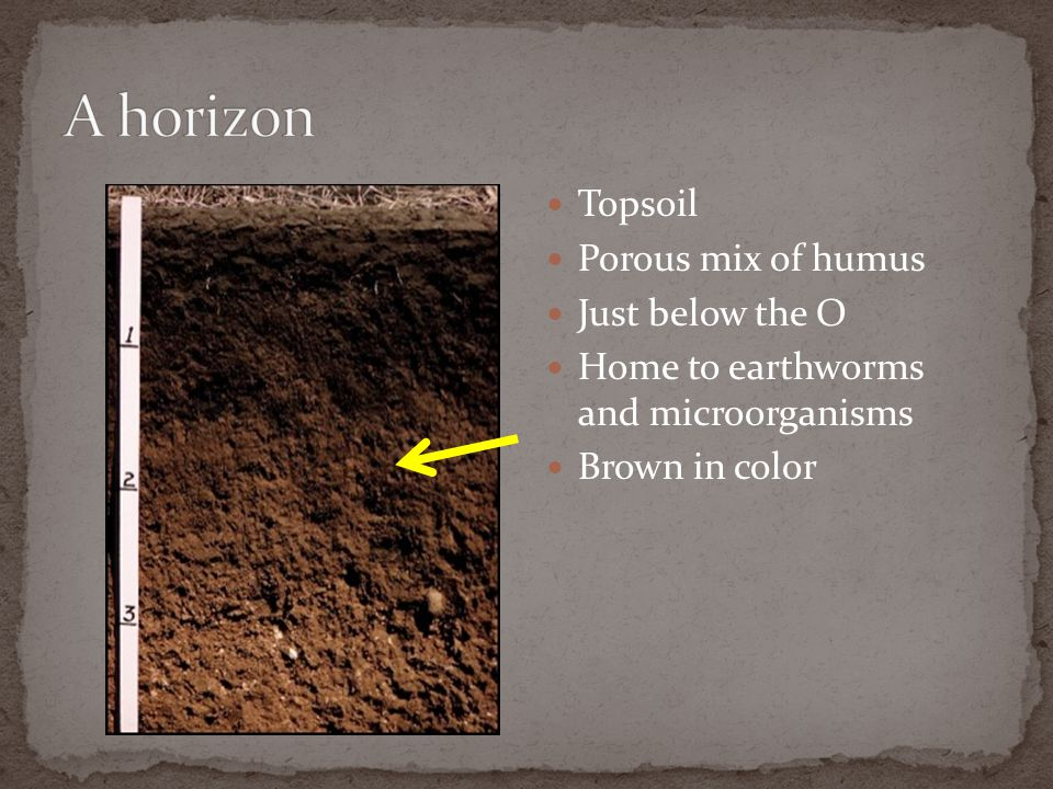 A horizon Topsoil Porous mix of humus Just below the O