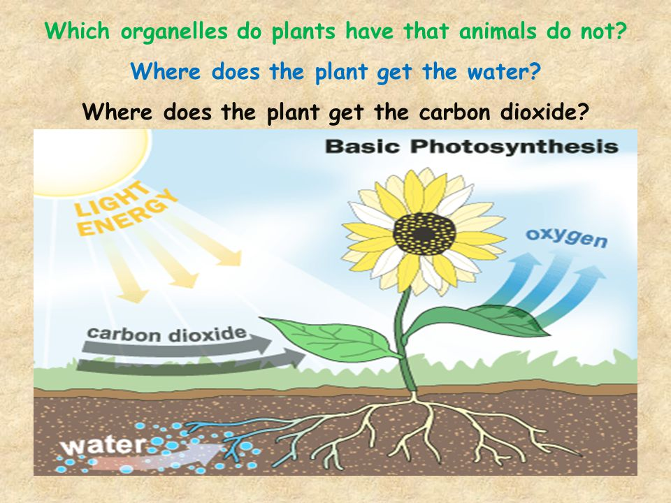 Which organelles do plants have that animals do not