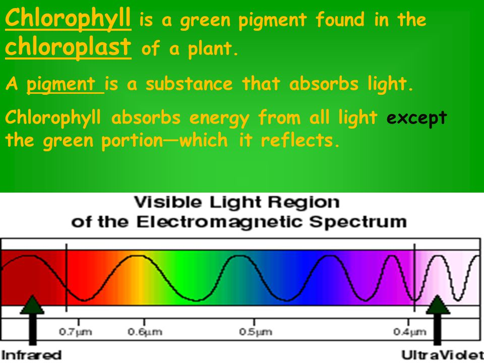 Chlorophyll is a green pigment found in the chloroplast of a plant.