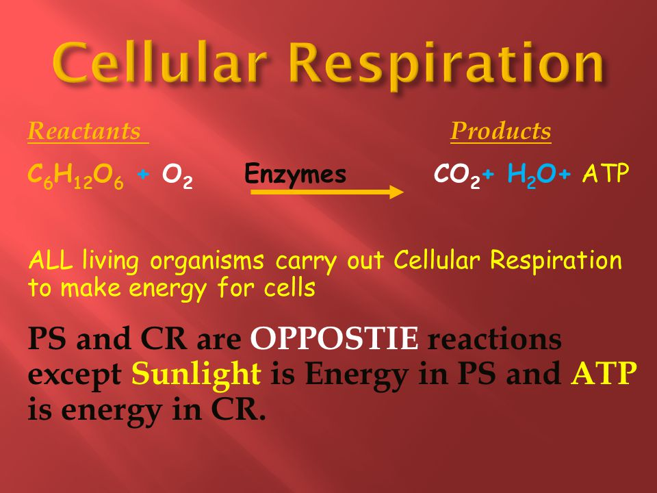 Cellular Respiration Reactants Products. C6H12O6 + O2 Enzymes CO2+ H2O+ ATP.