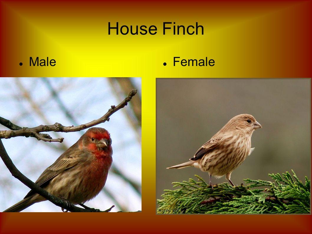 House Finch Male Female