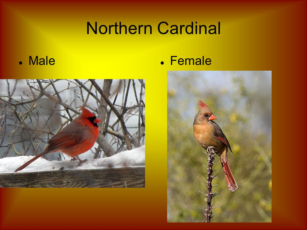 Northern Cardinal Male Female