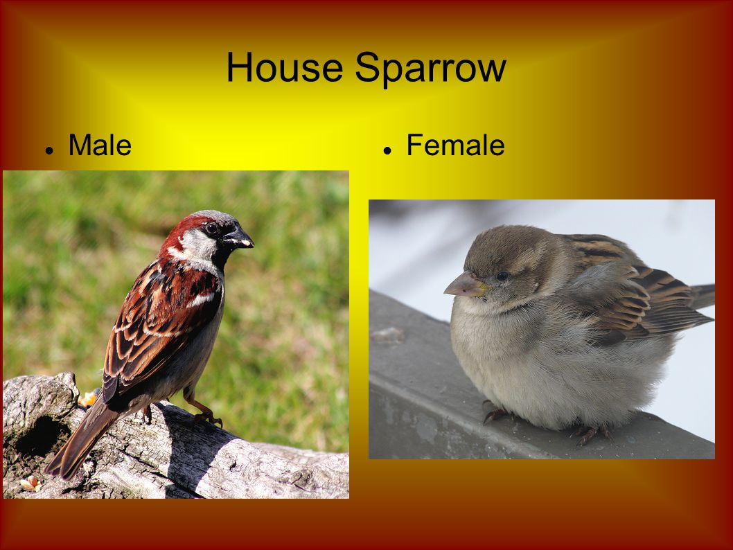House Sparrow Male Female
