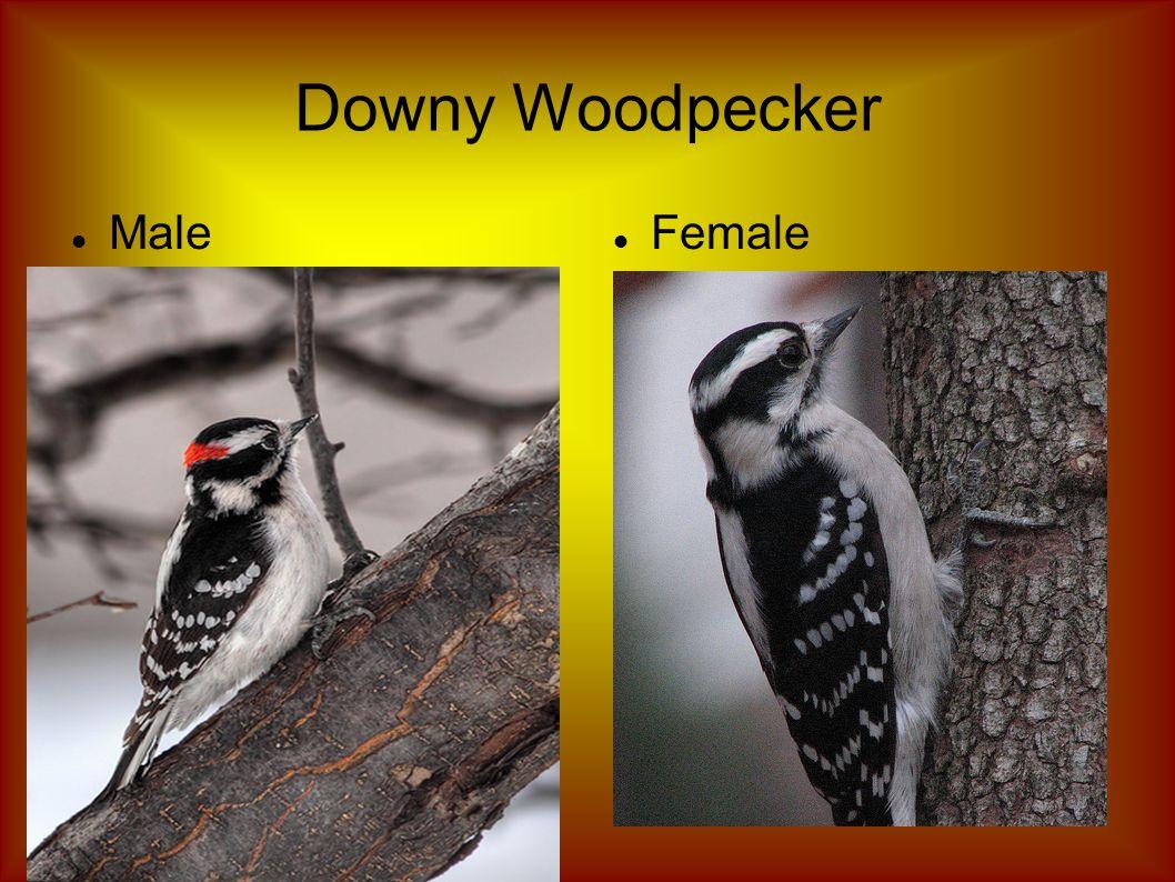 Downy Woodpecker Male Female