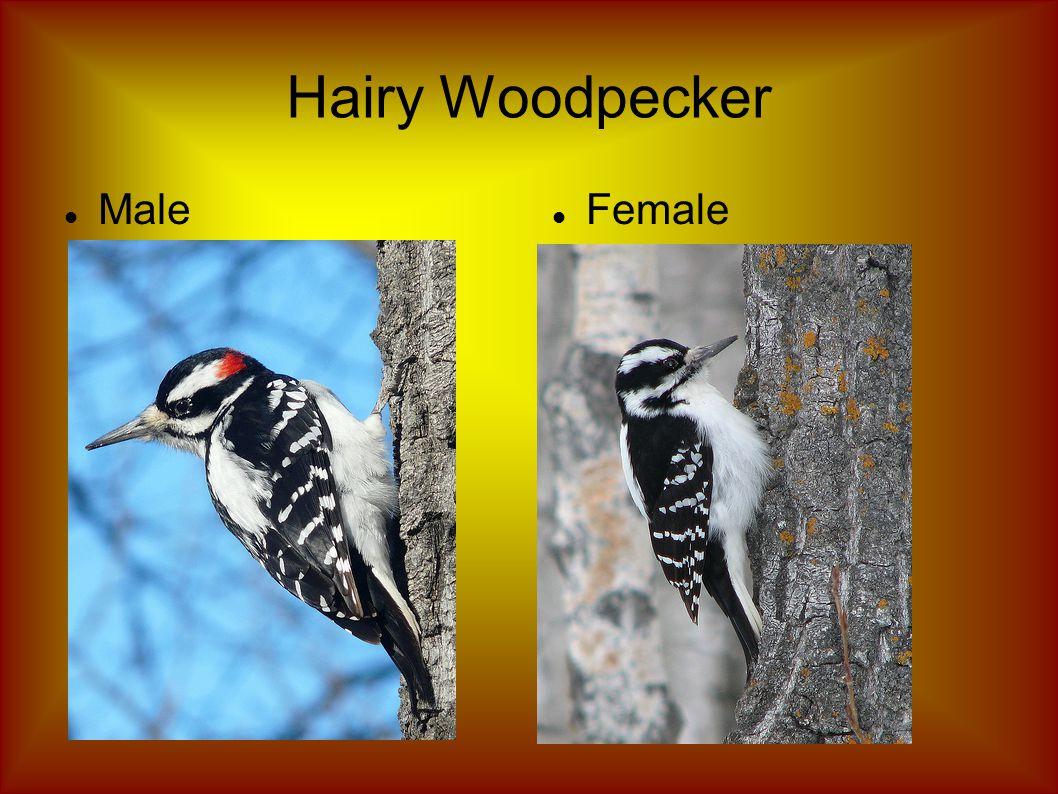 Hairy Woodpecker Male Female