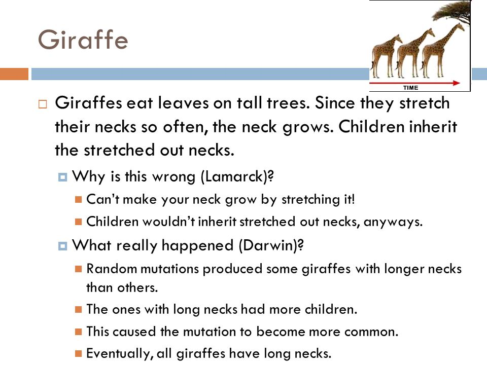 Giraffe Giraffes eat leaves on tall trees. Since they stretch their necks so often, the neck grows. Children inherit the stretched out necks.