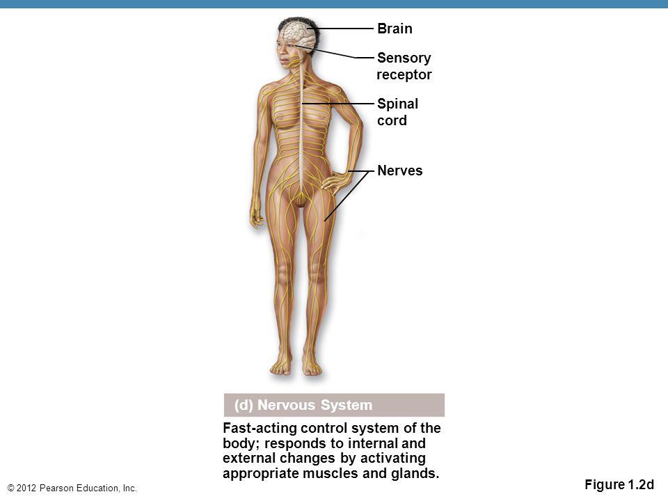 (d) Nervous System Brain Sensory receptor Spinal cord Nerves