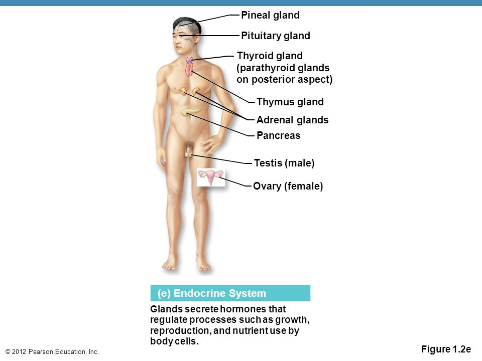 (e) Endocrine System Pineal gland Pituitary gland Thyroid gland