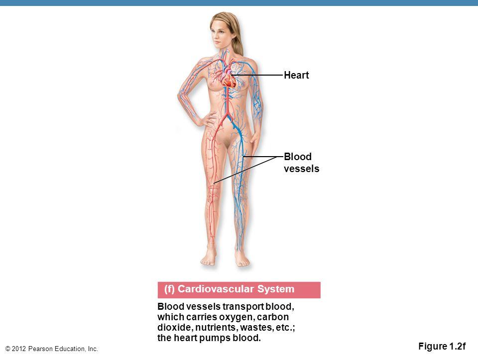 (f) Cardiovascular System