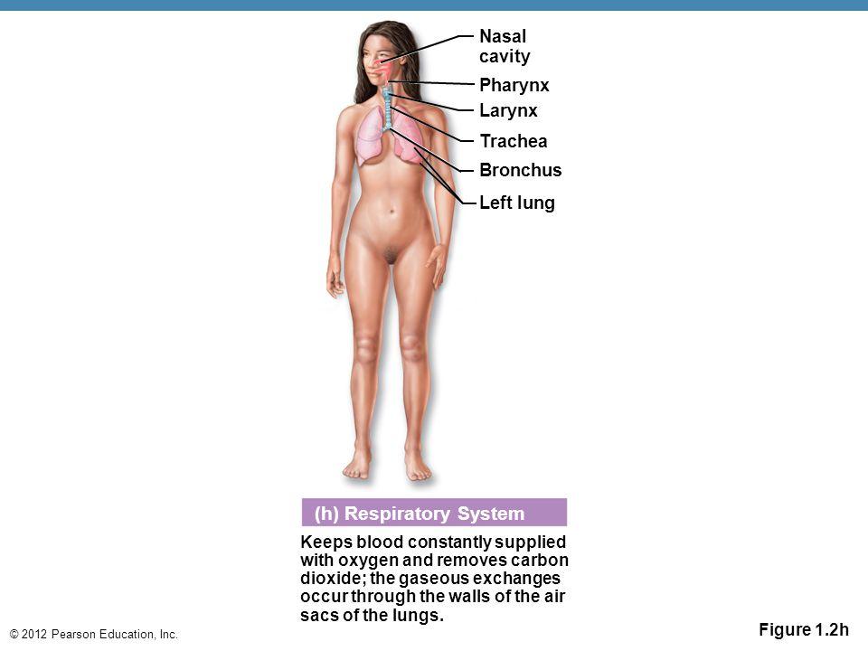 (h) Respiratory System
