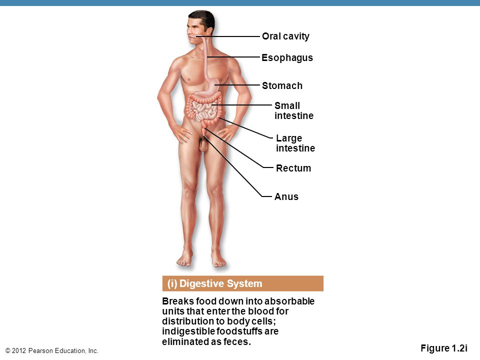 (i) Digestive System Oral cavity Esophagus Stomach Small intestine