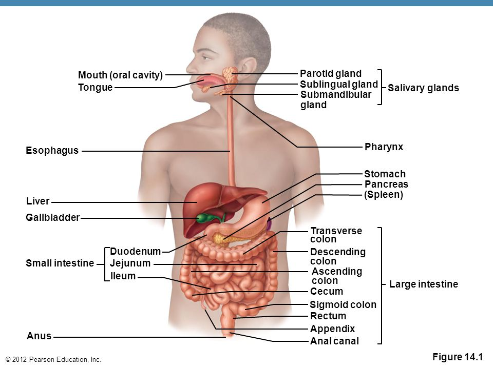 Mouth (oral cavity) Parotid gland. Tongue. Sublingual gland. Salivary glands. Submandibular. gland.