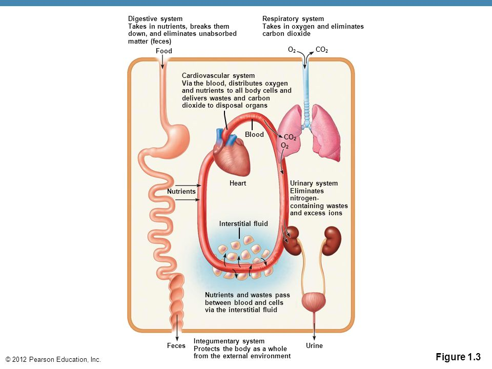 Digestive system Takes in nutrients, breaks them down, and eliminates unabsorbed matter (feces)