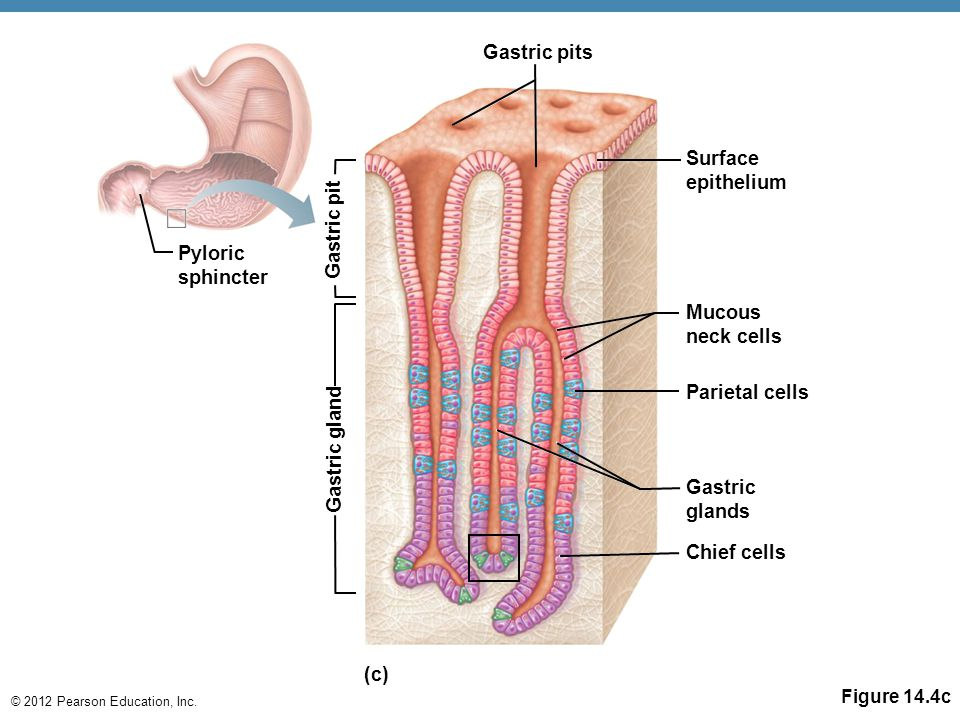 Gastric pits Gastric pit Gastric gland (c)