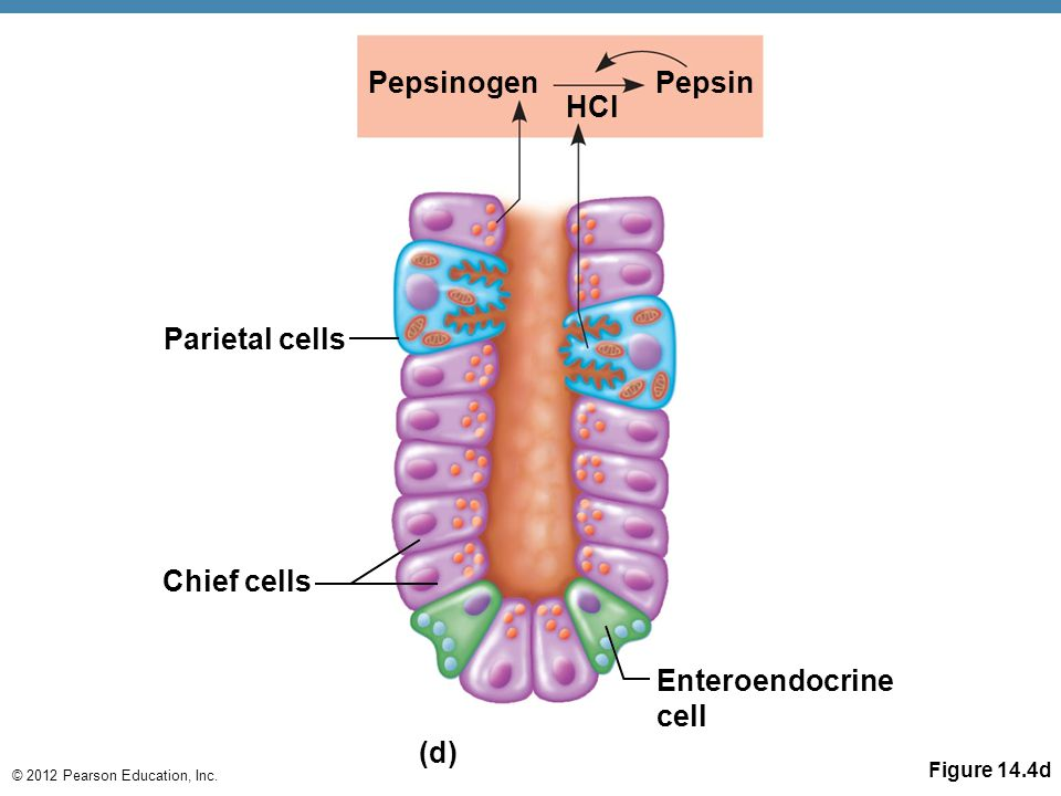 Pepsinogen Pepsin HCl Parietal cells Chief cells (d)