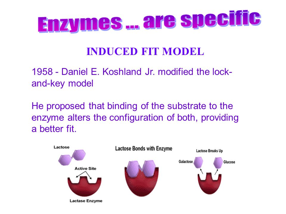 Enzymes ... are specific INDUCED FIT MODEL