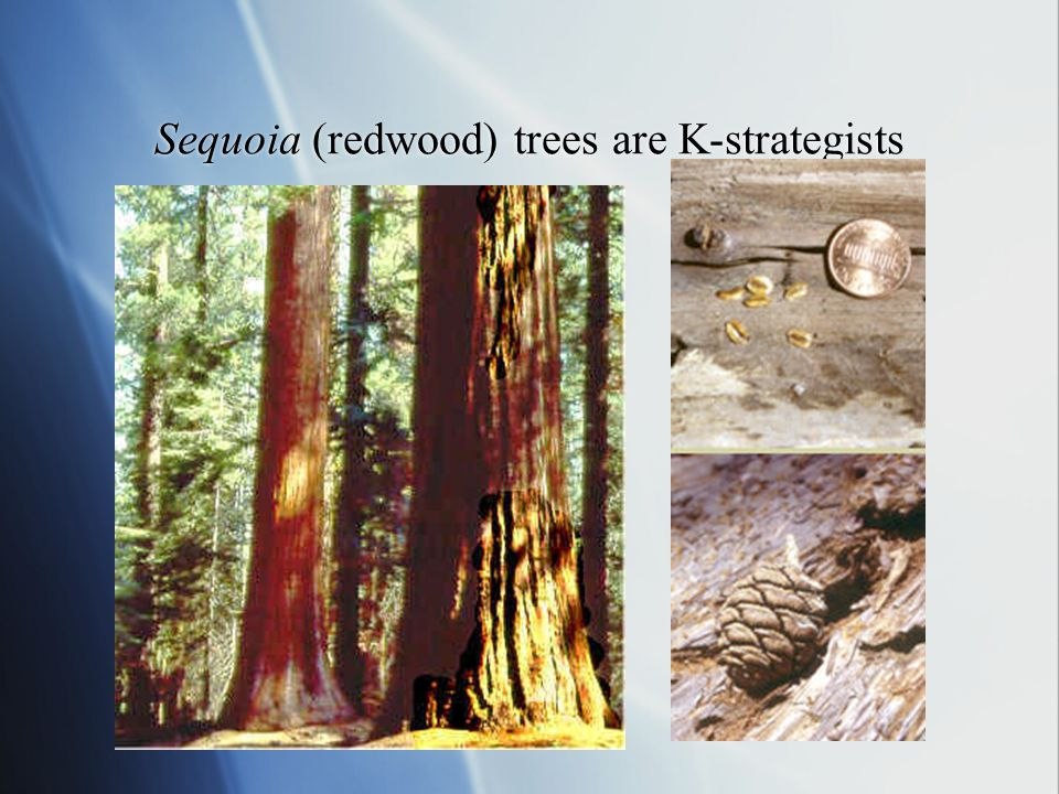 Sequoia (redwood) trees are K-strategists